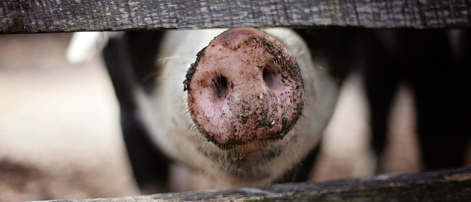 La peste porcine africaine sur le point de déséquilibrer l'Europe